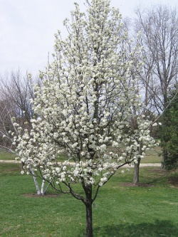 Cox Arboretum - April 2009 - Flowering Dogwood